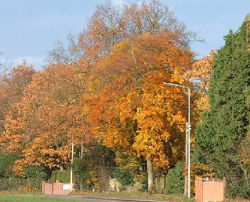 trees with golden colour leaves