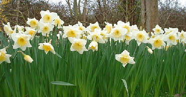 a mass of white daffodils with yellow centres