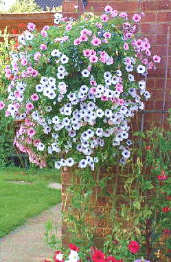 pink and white flowers trailing from a hanging basket