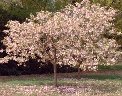 a tree covered in pink blossom