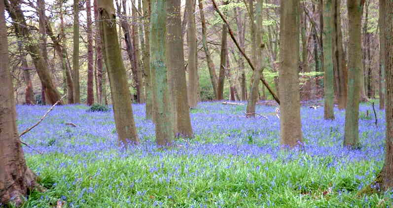a wood of grey tree trunks rising from a carpet of blue and green flowers