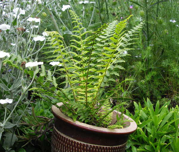 fern growing in a pot against a backdrop of green foliage and a few white flowers.