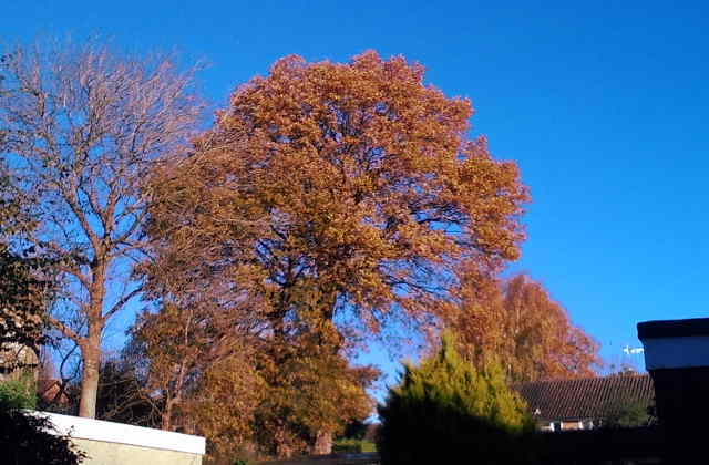 tree with leaves turned red, blue sky