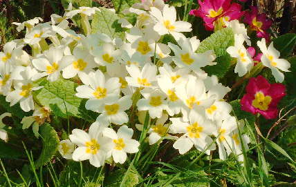 a primrose plant covered in light coloured bloomes, with some red blooms behind it.